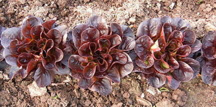 We harvested every other plant of the lettuce. Here is Salanova Red Butter