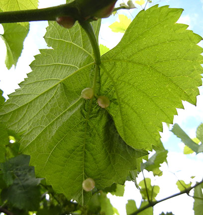 Tumid galls on leaf underside