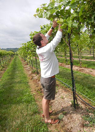 Nathan is shoot positioning Sunbelt grapevines.
