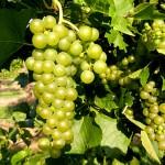 R Seyval Blanc 34+