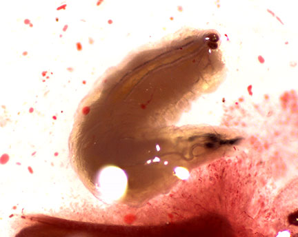 Drosophila larvae from raspberry fruit