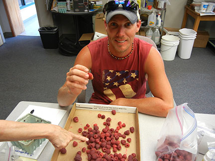 The berries are sorted and any less ripe berries are removed.