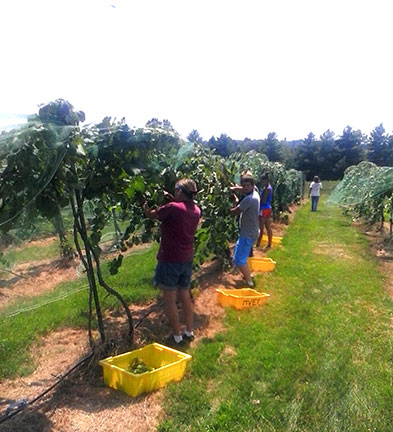 Grapes are harvested and placed in lugs. Data is recorded on reference vines in the block. Photo by Randi Kreuser