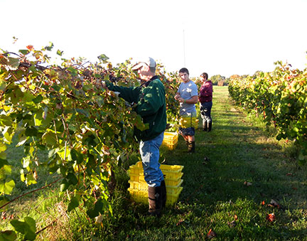 Tom, Kellis and Aaron begin to pick grapes in row 1 of the West Catawba Vineyard.