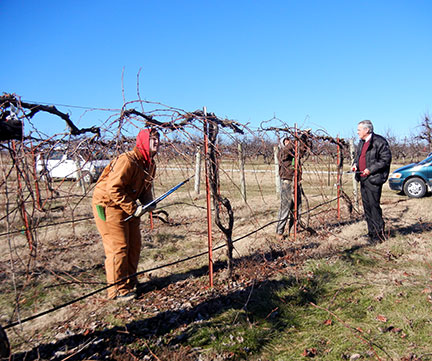 The pruning crew is working on the Norton vines in the Research Vineyard.