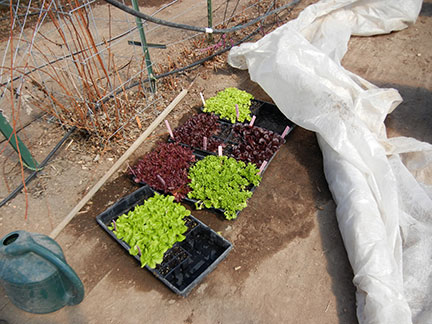 The lettuce flats were moved out of the greenhouse and into the tunnel on Tuesday, March 3. They were covered with row cover for protection from the cold.