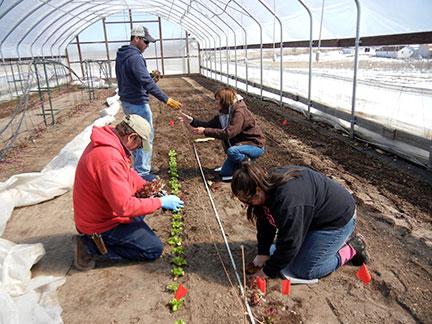 The Salanova lettuce cultivars included Red Butter, Green Butter, Green incised, Red Incised, Green Sweet Crisp, Red Sweet Crisp, Green Oakleaf and Red Oakleaf.