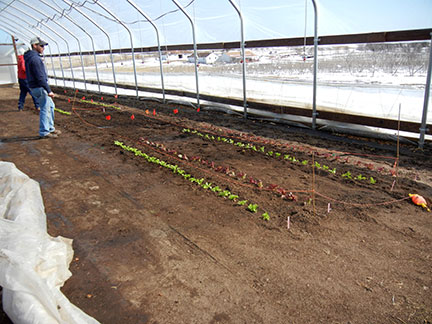 Lettuce planted in high tunnel on Friday, March 5