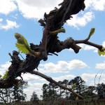 Chardonel E-L Stage 4-9 budburst to 2 to 3 leaves separated