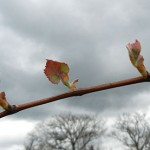 D Concord E-L Stage 6 budburst to first leaf separated from shoot tip
