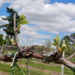 D Vivant E-L Stage 4-7 budburst to first leaf separated
