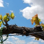 MVEC Valvin Muscat E-L Stage 7-9 first leaf separated to 2 to 3 leaves separated