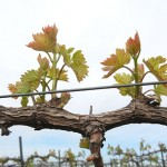 MVEC Valvin Muscat E-L Stage 11-12 4 to 5 leaves separated