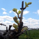 MVEC Chambourcin E-L Stage 4-7 budburst to first leaf separated