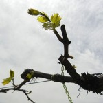 MVEC Chambourcin E-L Stage 4-11 budburst to 4 leaves separated