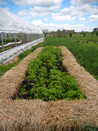 All bagged raspberries in the high tunnel trial survived the winter.