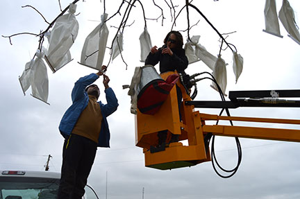 Walnuts are monoecious having separate male and female flowers. Surya and Bridgett are removing the male catkins and then putting a bag over the female flowers to protect them from uncontrolled pollination.