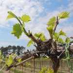 F Vignoles E-L Stage 9 2 to 3 leaves separated; shoots 1-2 inches long
