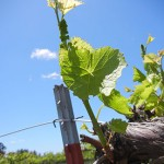 F Vignoles E-L Stage 11-13 4-6 leaves separated