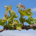 MVEC Valvin Muscat E-L Stage 11-13 4 to 6 leaves separated
