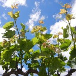MVEC Valvin Muscat E-L Stage 15 8 leaves separated; shoots elongating rapidly, single flowers in compact groups.