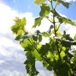 MVEC Valvin Muscat E-L Stage 15-16 8-10 leaves separated; shoots elongating rapidly, single flowers in compact groups.