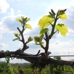 R Vidal Blanc E-L Stage 9-11 2 to 4 leaves separated