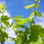 R Vidal Blanc E-L Stage 15-16 8-10 leaves separated; shoots elongating rapidly, single flowers in compact groups.