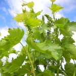 R Seyval Blanc E-L Stage 17 12 leaves separated; inflorescence well developed, single flowers separated.