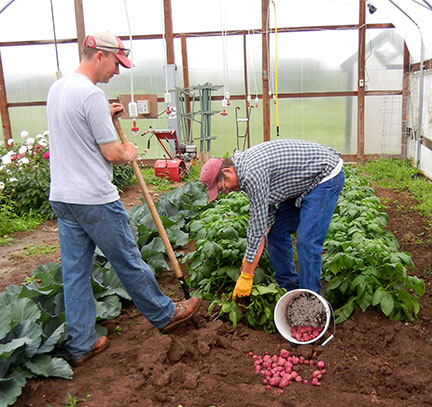 Some of the potatoes needed to be harvested to make room for the raspberries. We harvested them for new potatoes.