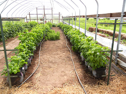 The raspberries in grow bags are rotated into the space. We left some larkspur in the middle that has not bloomed yet.
