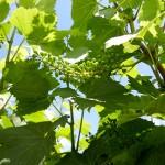 Chardonel E-L Stage 29-31 Berries pepper-corn to pea size.
