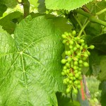F Traminette E-L Stage 29-31 Berries pepper-corn to pea size.