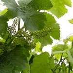 F Traminette E-L Stage 23 17-20 leaves separated; 50% cap fall (=flowering).