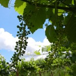 F Cayuga White E-L Stage 31 Berries pea size.