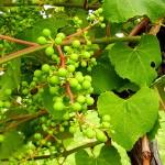 D Concord E-L Stage 31 Berries pea-size.