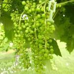 D Vidal Blanc E-L Stage 31 Berries pea-size.
