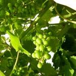 MVEC Valvin Muscat E-L Stage 29-31 Berries pepper-corn to pea-size.