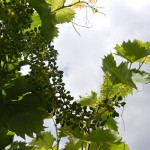 MVEC Chambourcin E-L Stage 27-29 Setting to berries pepper-corn size.