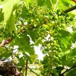 MVEC Chambourcin E-L Stage 29-31 Berries pepper-corn to pea size.