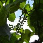 W Catawba E-L Stage 29-31 Berries pepper-corn to pea size.