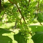 R Catawba E-L Stage 31 Berries pea size.