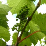 F Vignoles E-L Stage 29-31 Berries pepper-corn to pea size.