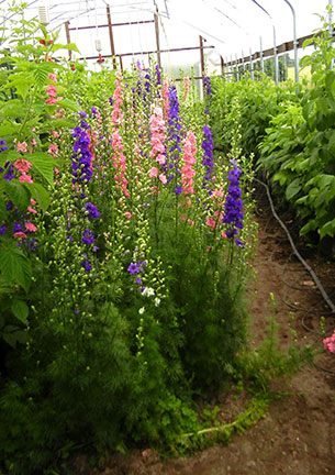 Larkspur blooming in high tunnel