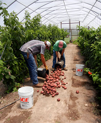 After harvest, the buckets are poured out over nursery cloth.