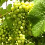 F Chardonel E-L Stage 34 Berries begin to soften; sugars start increasing.