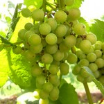 F Traminette E-L Stage 34 Berries begin to soften; sugar starts increasing.