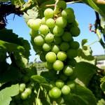 F Cayuga White E-L Stage 34 Berries begin to soften; sugars start increasing.