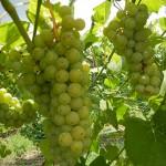 F Cayuga White E-L Stage 36 Berries with intermediate sugar levels.