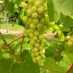 D Vivant E-L Stage 34 Berries begin to soften; sugars start increasing.